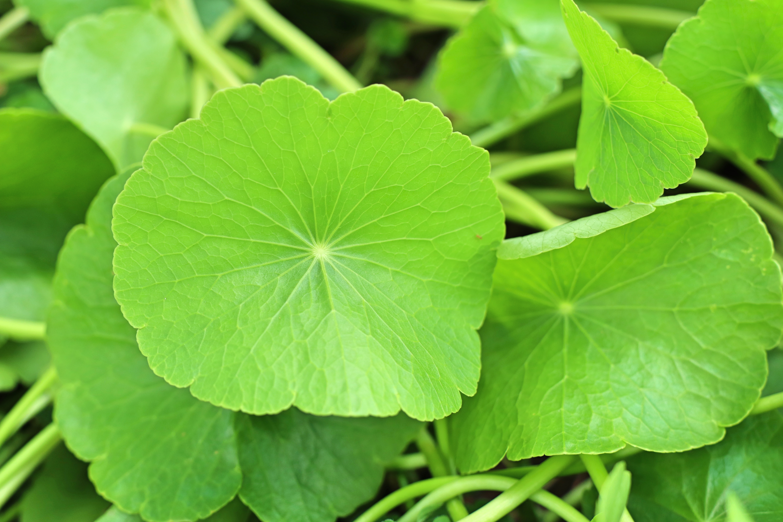 Asiatic leaf  in nature