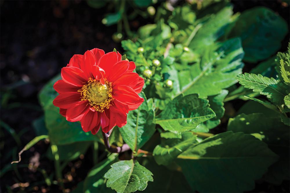 Tithonia rotundifolia red in the garden